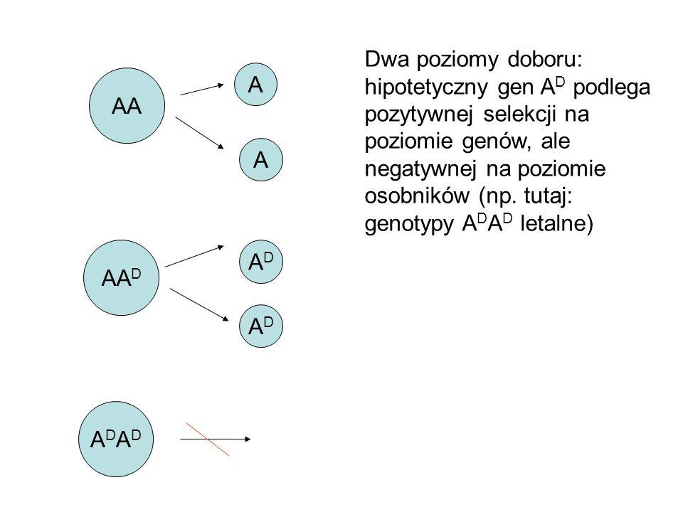AA ADADADAD ADAD AA D A Dwa poziomy doboru: hipotetyczny gen A D podlega pozytywnej selekcji na poziomie genów, ale negatywnej na poziomie osobników (