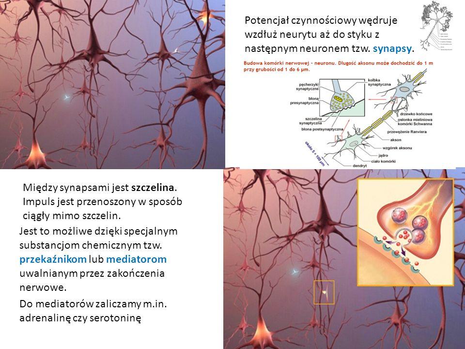 Między synapsami jest szczelina. Impuls jest przenoszony w sposób ciągły mimo szczelin. Jest to możliwe dzięki specjalnym substancjom chemicznym tzw.