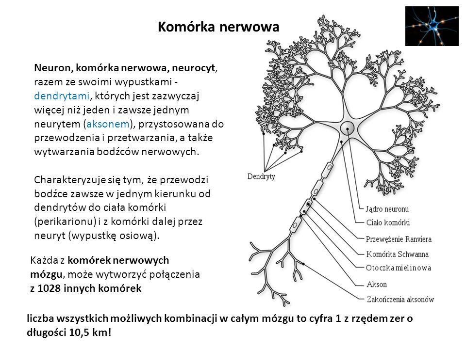 Komórka nerwowa Neuron, komórka nerwowa, neurocyt, razem ze swoimi wypustkami - dendrytami, których jest zazwyczaj więcej niż jeden i zawsze jednym ne