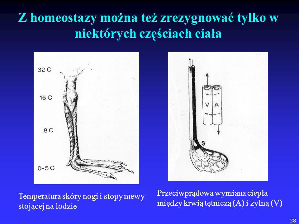 28 Z homeostazy można też zrezygnować tylko w niektórych częściach ciała Przeciwprądowa wymiana ciepła między krwią tętniczą (A) i żylną (V) Temperatu