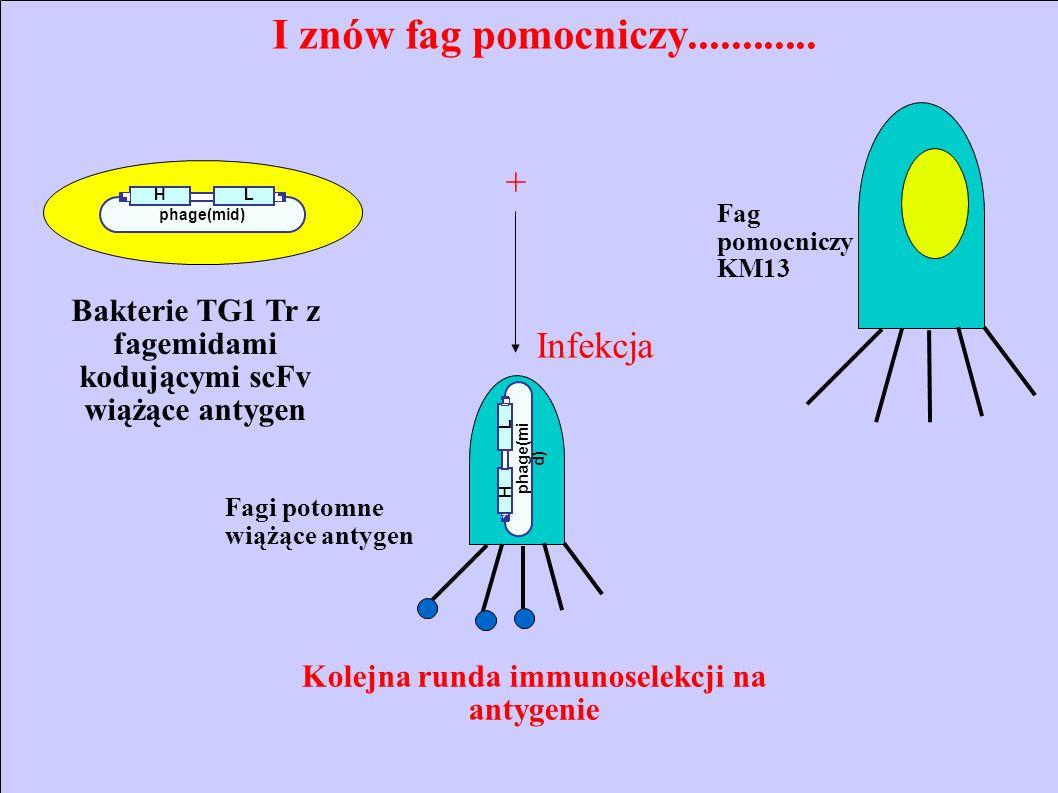 HL I znów fag pomocniczy............ phage(mi d) H L Fag pomocniczy KM13 Fagi potomne wiążące antygen + Infekcja Kolejna runda immunoselekcji na antyg