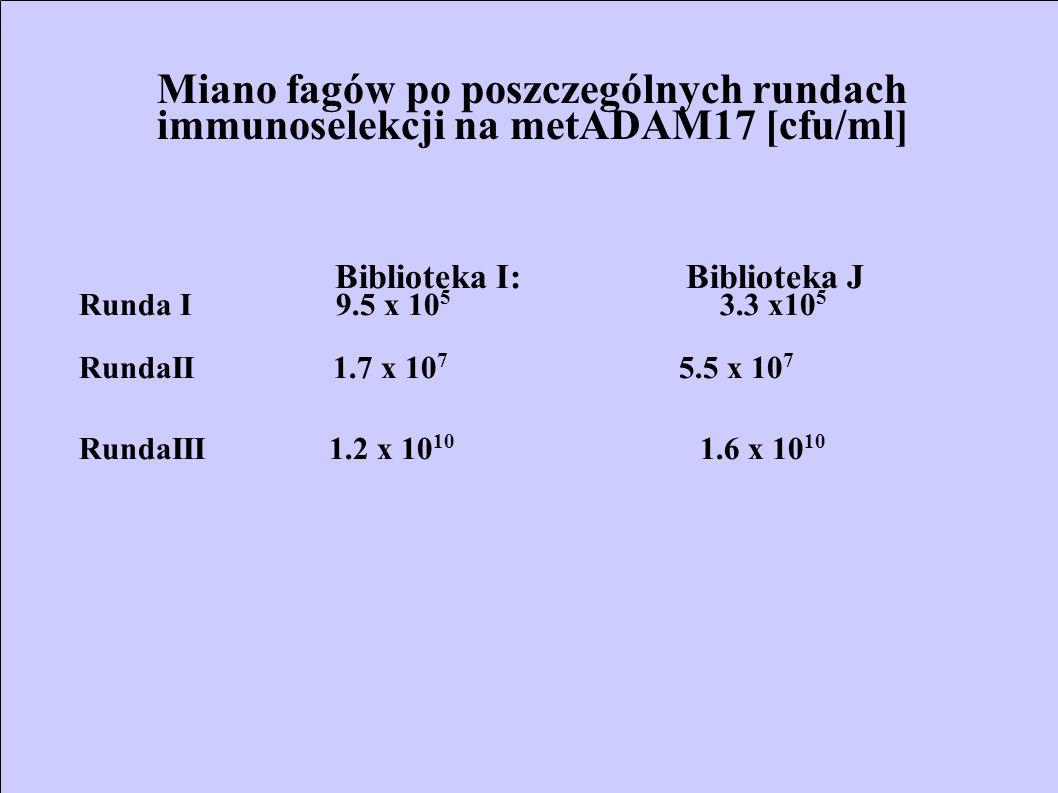 Miano fagów po poszczególnych rundach immunoselekcji na metADAM17 [cfu/ml] Biblioteka I: Biblioteka J Runda I 9.5 x 10 5 3.3 x10 5 RundaII 1.7 x 10 7