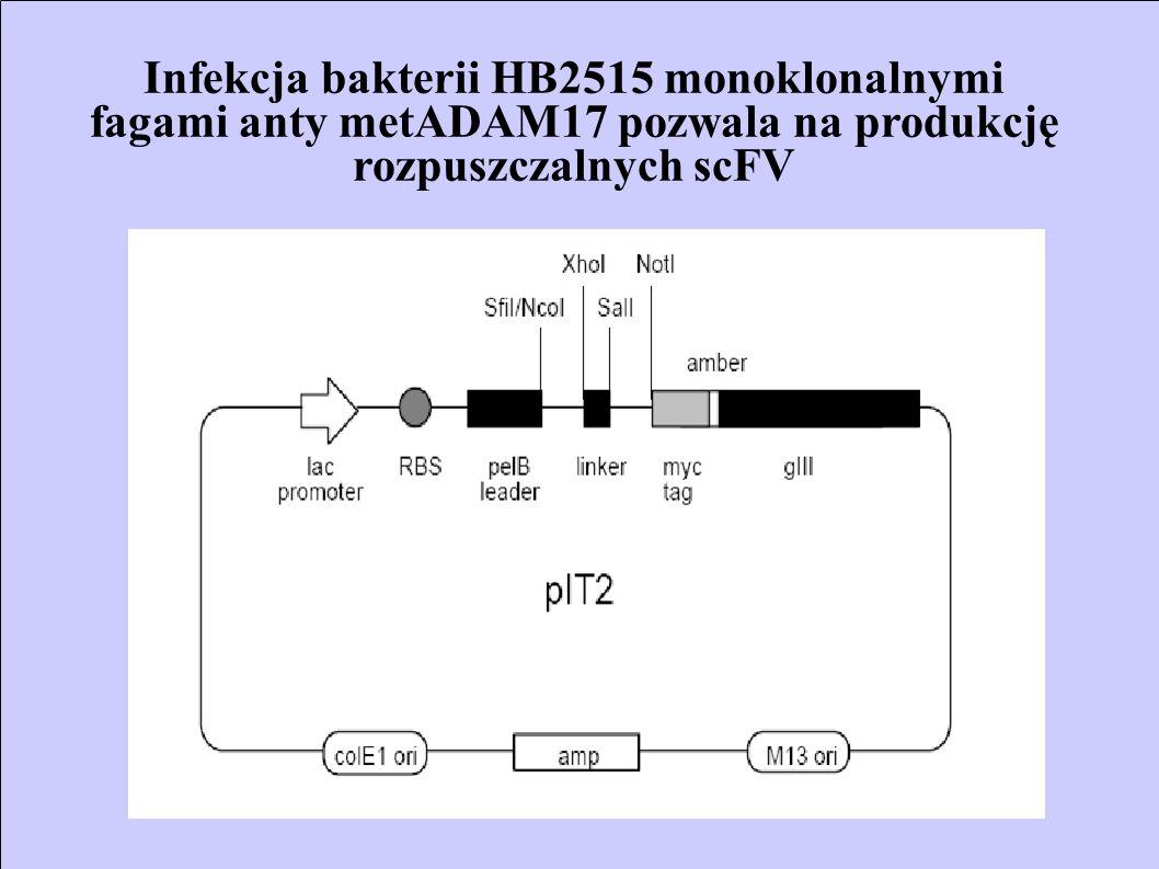 Infekcja bakterii HB2515 monoklonalnymi fagami anty metADAM17 pozwala na produkcję rozpuszczalnych scFV
