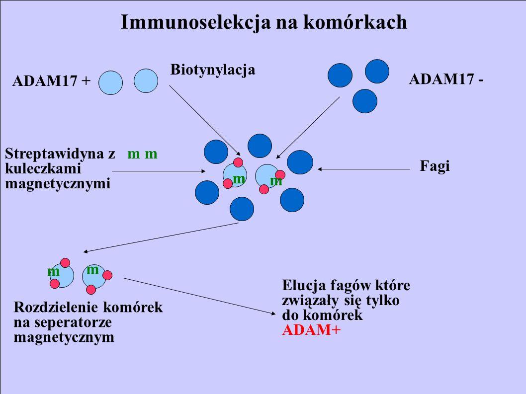 Immunoselekcja na komórkach ADAM17 + ADAM17 - Biotynylacja Fagi Streptawidyna z kuleczkami magnetycznymi m m m Rozdzielenie komórek na seperatorze mag