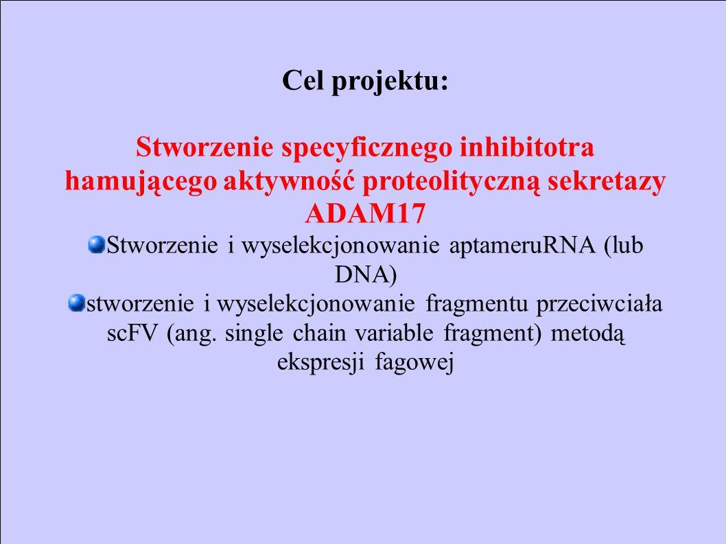 Cel projektu: Stworzenie specyficznego inhibitotra hamującego aktywność proteolityczną sekretazy ADAM17 Stworzenie i wyselekcjonowanie aptameruRNA (lu