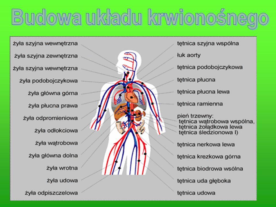 Zadaniem układu krążenia (dokładniej: układu krążenia krwi, tj.