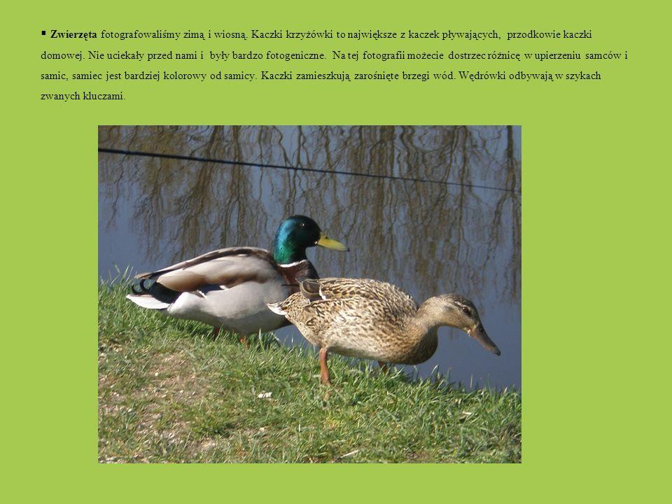 Zwierzęta fotografowaliśmy zimą i wiosną. Kaczki krzyżówki to największe z kaczek pływających, przodkowie kaczki domowej. Nie uciekały przed nami i by