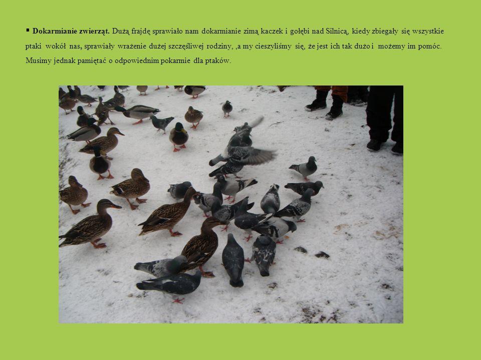 Dokarmianie zwierząt. Dużą frajdę sprawiało nam dokarmianie zimą kaczek i gołębi nad Silnicą, kiedy zbiegały się wszystkie ptaki wokół nas, sprawiały