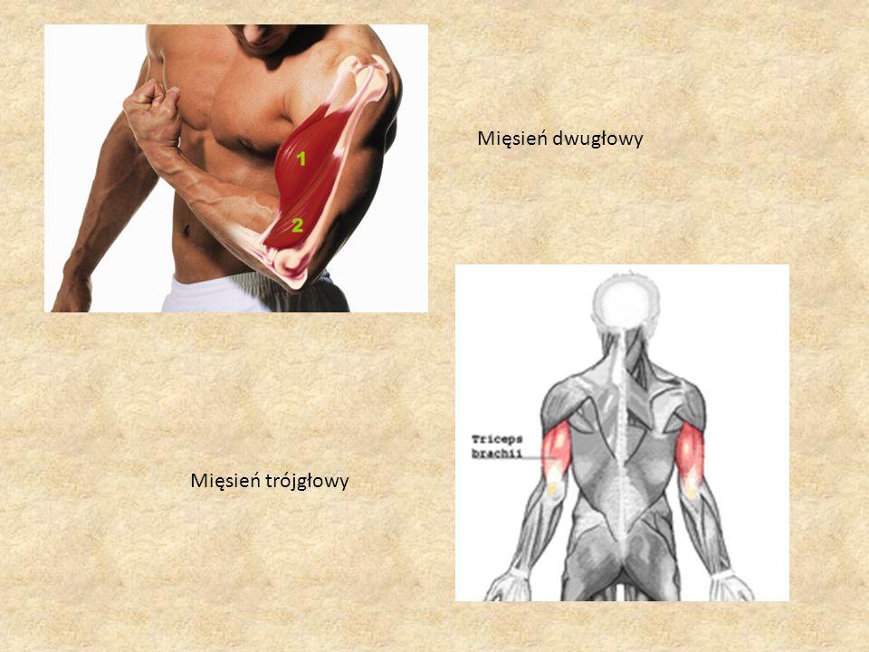 Mięśnie szkieletowe różnią się między sobą wielkością i kształtem, co jest związane z pełnionymi przez nie funkcjami.