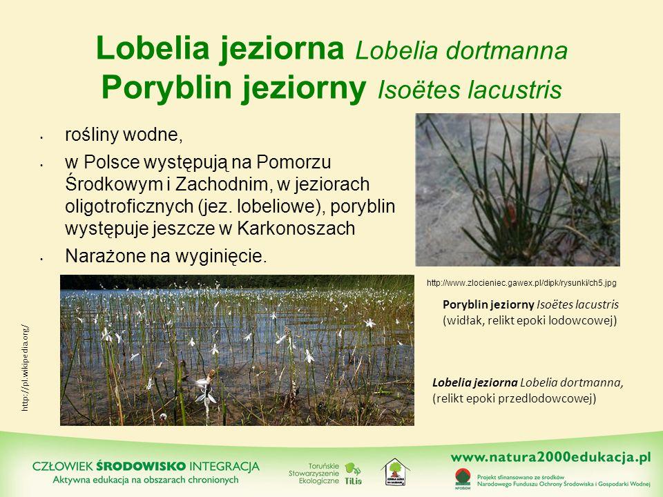 Lobelia jeziorna Lobelia dortmanna Poryblin jeziorny Isoëtes lacustris rośliny wodne, w Polsce występują na Pomorzu Środkowym i Zachodnim, w jeziorach