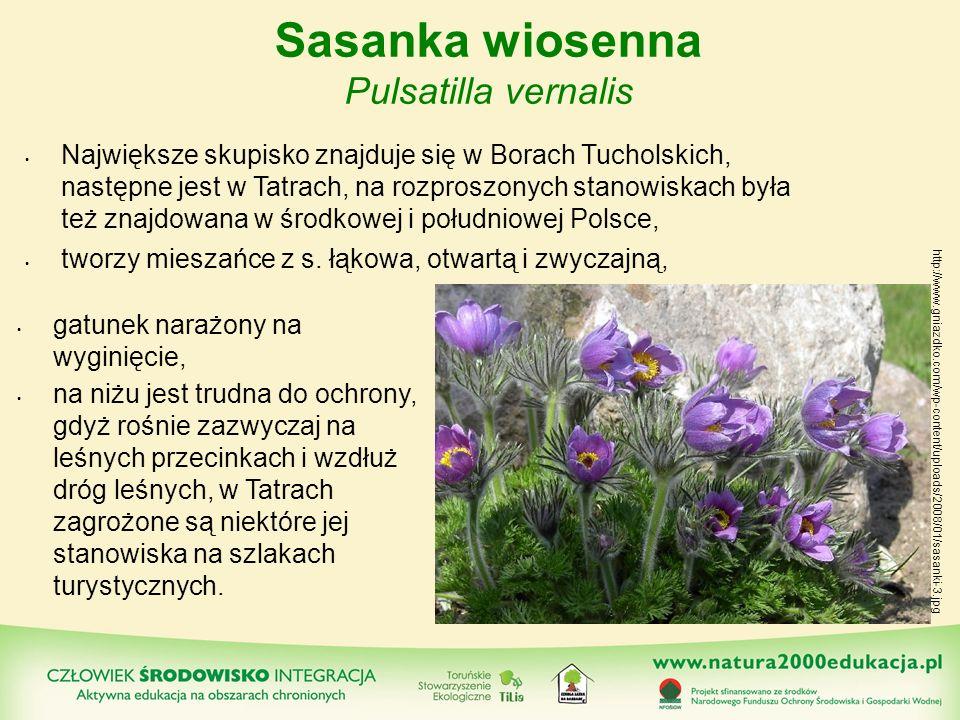 Sasanka wiosenna Pulsatilla vernalis Największe skupisko znajduje się w Borach Tucholskich, następne jest w Tatrach, na rozproszonych stanowiskach był