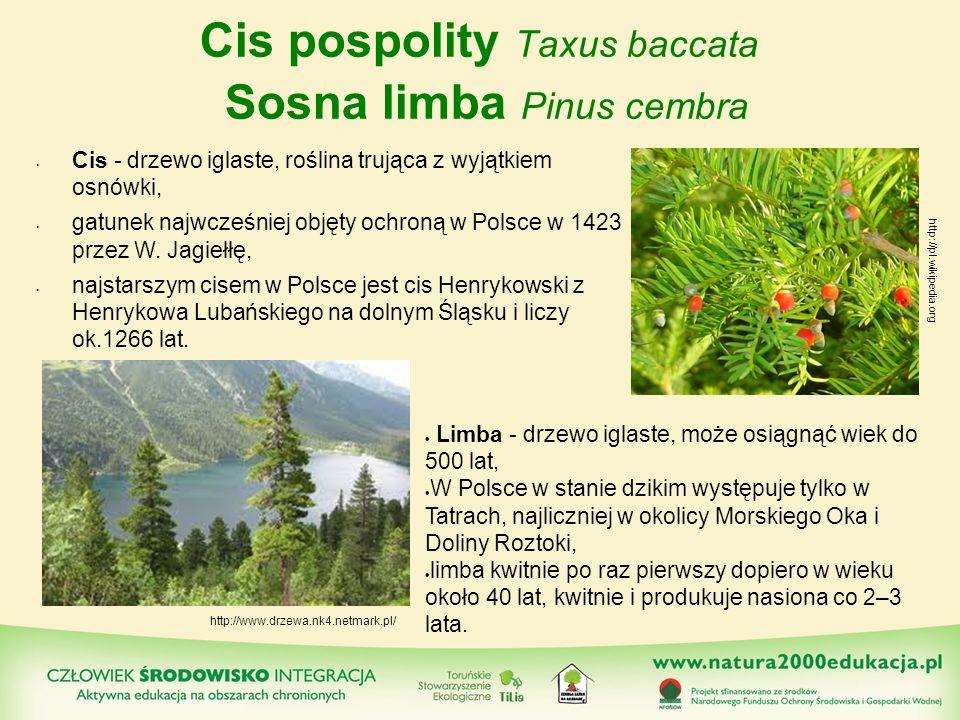 Cis pospolity Taxus baccata Sosna limba Pinus cembra Cis - drzewo iglaste, roślina trująca z wyjątkiem osnówki, gatunek najwcześniej objęty ochroną w