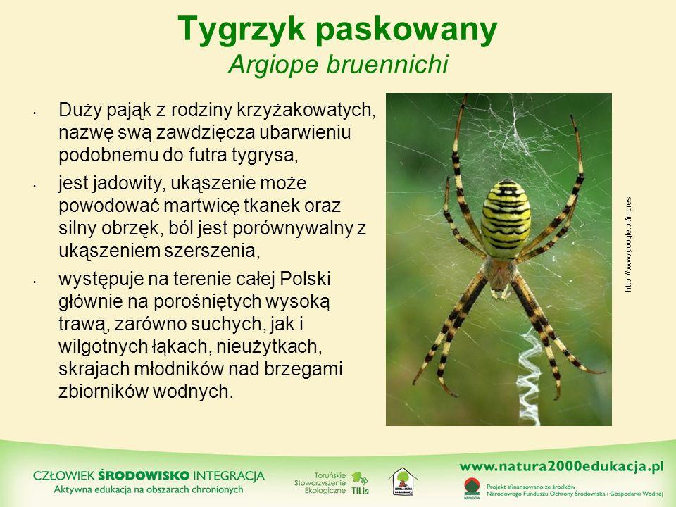 Tygrzyk paskowany Argiope bruennichi Duży pająk z rodziny krzyżakowatych, nazwę swą zawdzięcza ubarwieniu podobnemu do futra tygrysa, jest jadowity, u