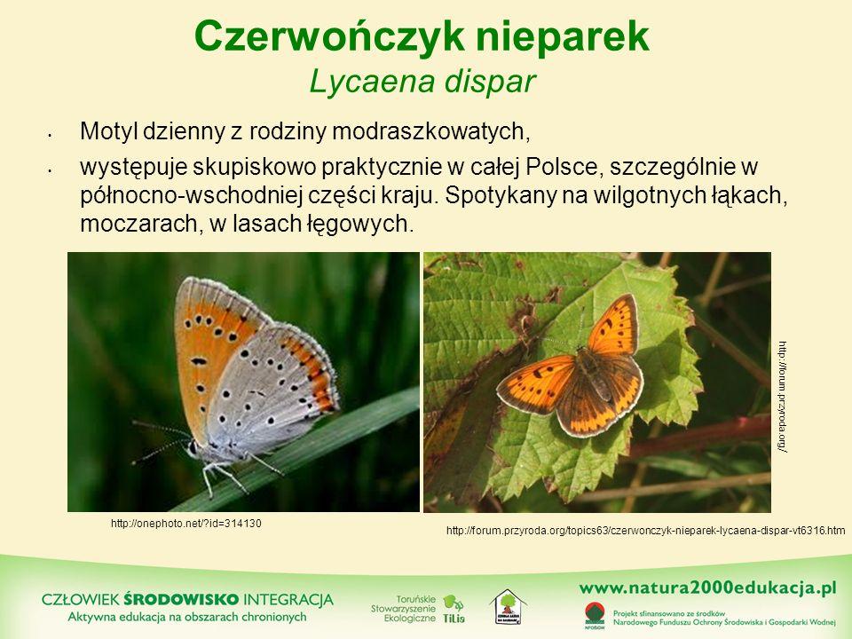 Czerwończyk nieparek Lycaena dispar Motyl dzienny z rodziny modraszkowatych, występuje skupiskowo praktycznie w całej Polsce, szczególnie w północno-w