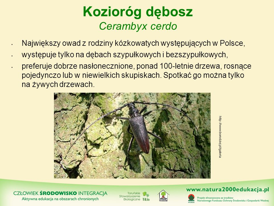 Kozioróg dębosz Cerambyx cerdo Największy owad z rodziny kózkowatych występujących w Polsce, występuje tylko na dębach szypułkowych i bezszypułkowych,