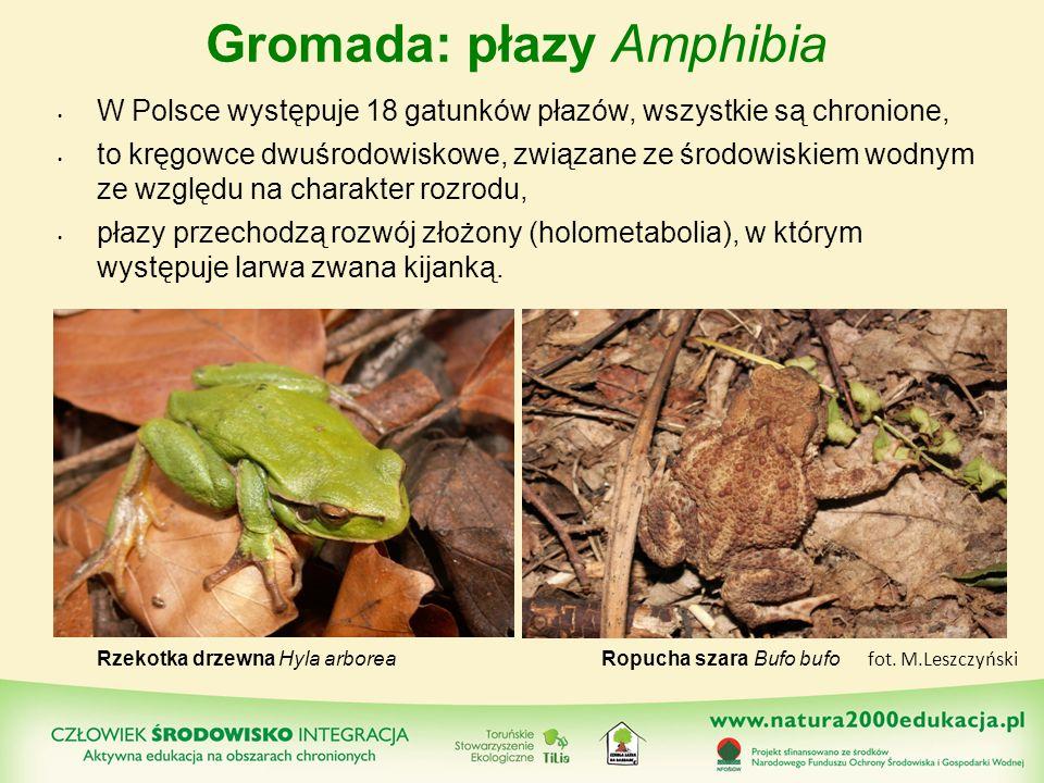Gromada: płazy Amphibia W Polsce występuje 18 gatunków płazów, wszystkie są chronione, to kręgowce dwuśrodowiskowe, związane ze środowiskiem wodnym ze