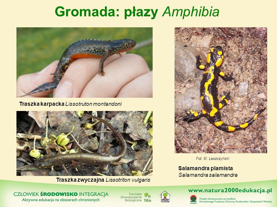 Gromada: płazy Amphibia Salamandra plamista Salamandra salamandra Traszka zwyczajna Lissotriton vulgaris Traszka karpacka Lissotruton montandoni Fot.