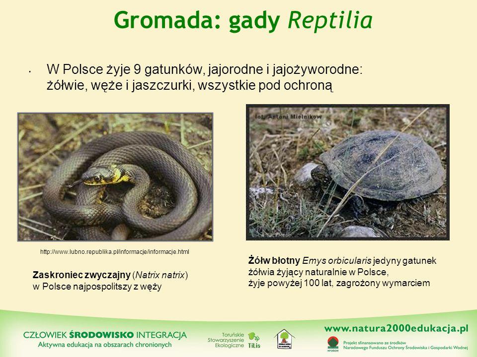 Gromada: gady Reptilia W Polsce żyje 9 gatunków, jajorodne i jajożyworodne: żółwie, węże i jaszczurki, wszystkie pod ochroną Zaskroniec zwyczajny (Nat