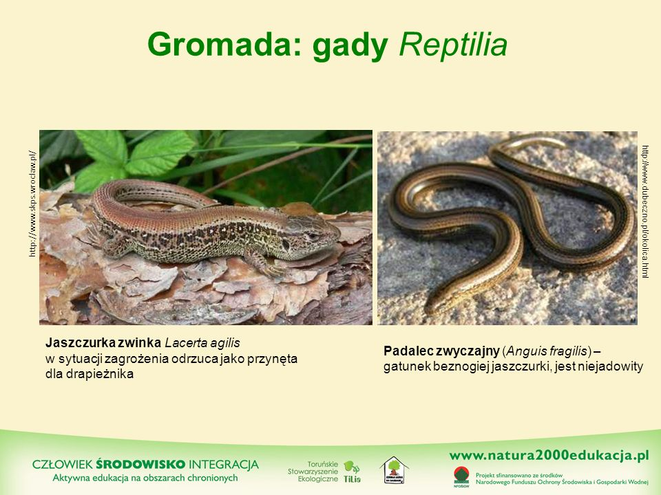Gromada: gady Reptilia http://www.skps.wroclaw.pl/ Jaszczurka zwinka Lacerta agilis w sytuacji zagrożenia odrzuca jako przynęta dla drapieżnika Padale
