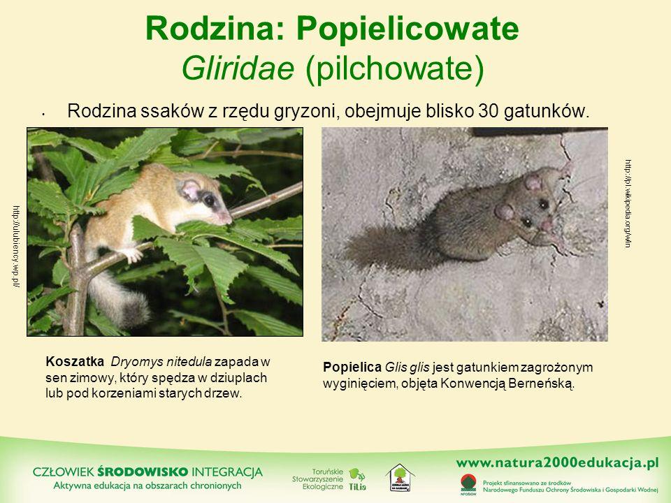 Rodzina: Popielicowate Gliridae (pilchowate) Rodzina ssaków z rzędu gryzoni, obejmuje blisko 30 gatunków. http://pl.wikipedia.org/w/in Koszatka Dryomy