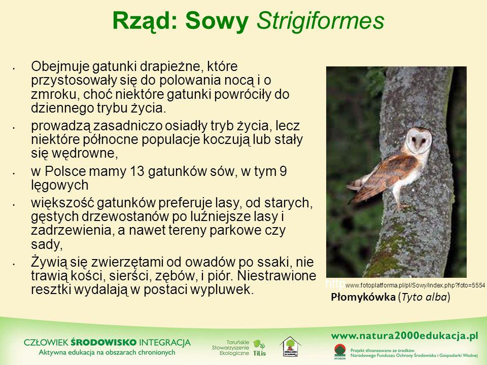 Rząd: Sowy Strigiformes Obejmuje gatunki drapieżne, które przystosowały się do polowania nocą i o zmroku, choć niektóre gatunki powróciły do dziennego