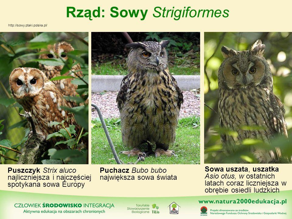 Rząd: Sowy Strigiformes Puszczyk Strix aluco najliczniejsza i najczęściej spotykana sowa Europy http://sowy.ptaki.polska.pl/ Puchacz Bubo bubo najwięk