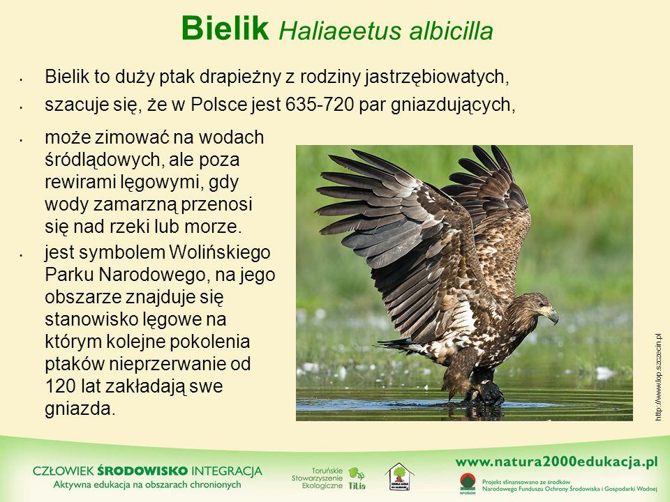 Bielik Haliaeetus albicilla Bielik to duży ptak drapieżny z rodziny jastrzębiowatych, szacuje się, że w Polsce jest 635-720 par gniazdujących, może zi