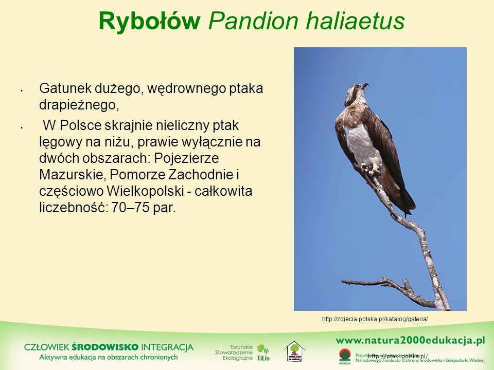 Rybołów Pandion haliaetus Gatunek dużego, wędrownego ptaka drapieżnego, W Polsce skrajnie nieliczny ptak lęgowy na niżu, prawie wyłącznie na dwóch obs