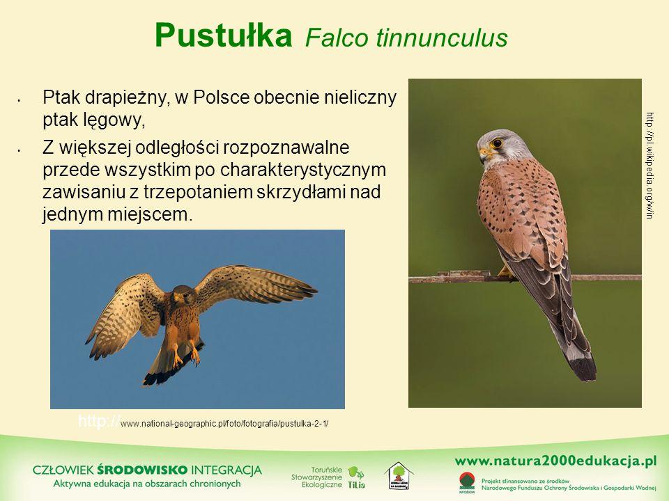 Pustułka Falco tinnunculus Ptak drapieżny, w Polsce obecnie nieliczny ptak lęgowy, Z większej odległości rozpoznawalne przede wszystkim po charakterys