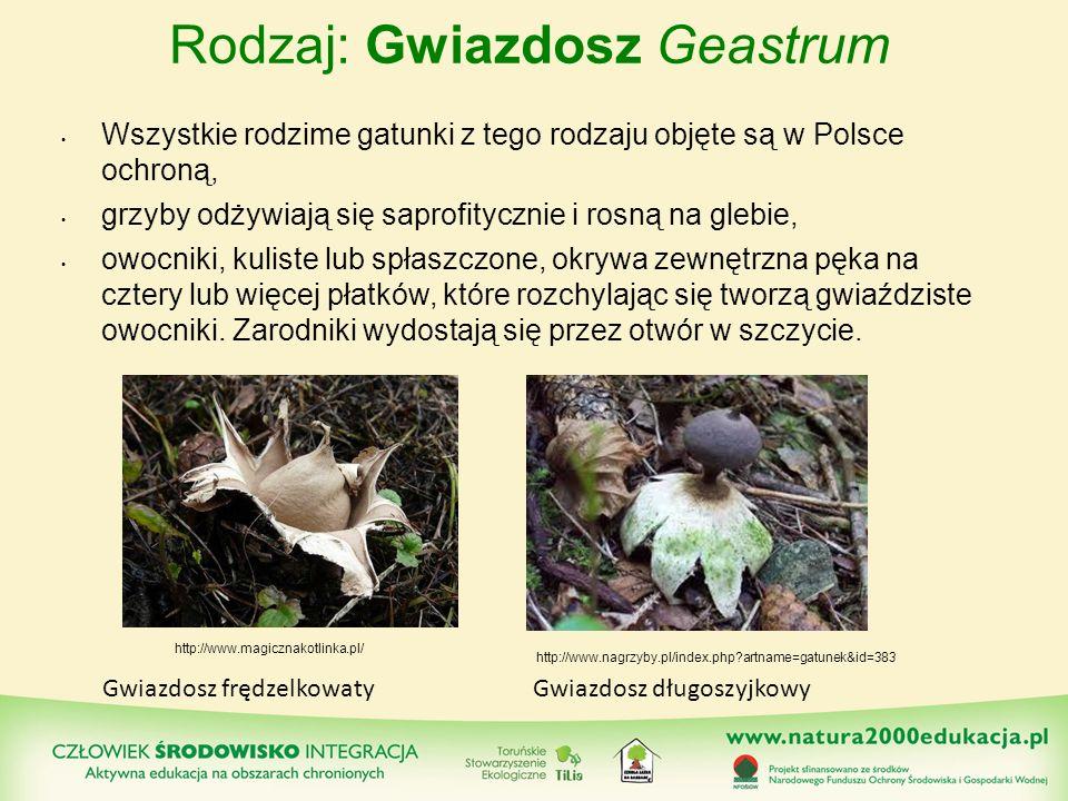 Rodzaj: Gwiazdosz Geastrum Wszystkie rodzime gatunki z tego rodzaju objęte są w Polsce ochroną, grzyby odżywiają się saprofitycznie i rosną na glebie,