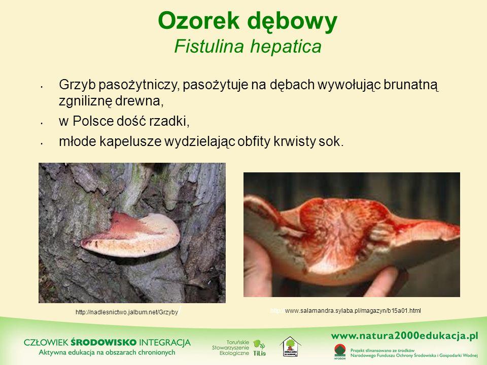 Ozorek dębowy Fistulina hepatica Grzyb pasożytniczy, pasożytuje na dębach wywołując brunatną zgniliznę drewna, w Polsce dość rzadki, młode kapelusze w