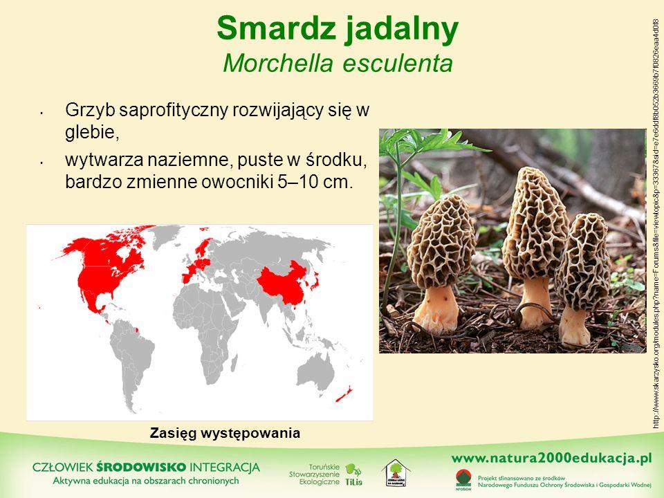 Smardz jadalny Morchella esculenta Grzyb saprofityczny rozwijający się w glebie, wytwarza naziemne, puste w środku, bardzo zmienne owocniki 5–10 cm. Z