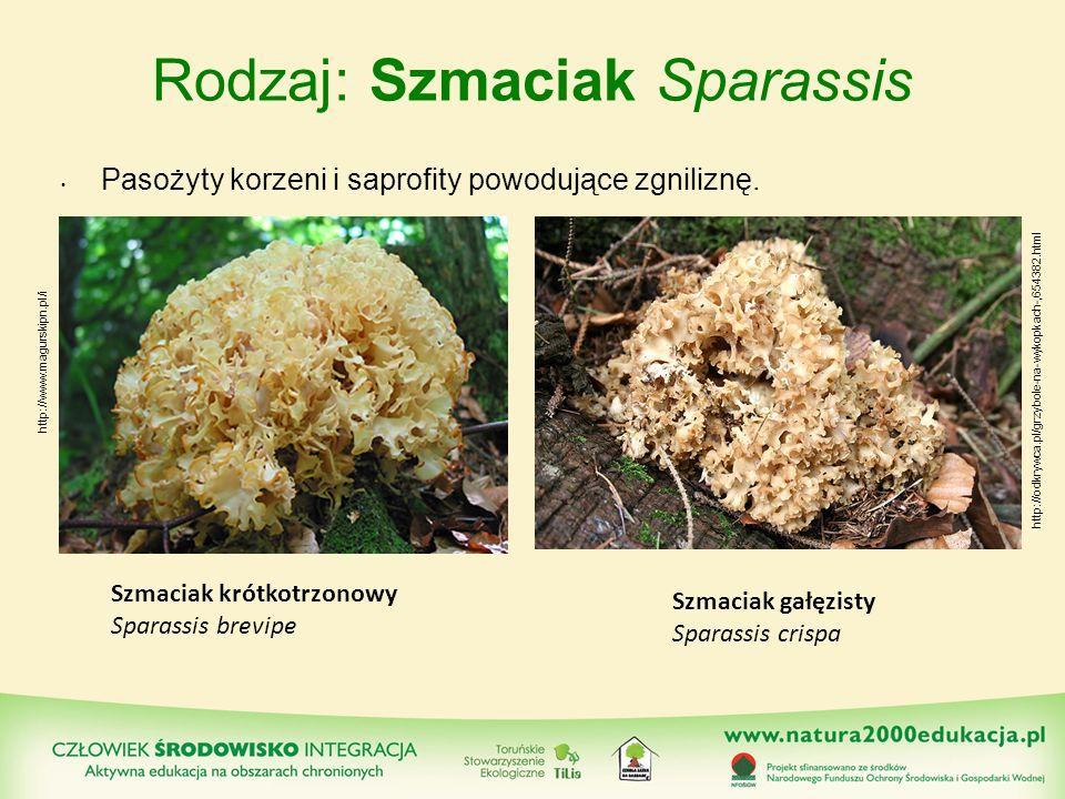 Rodzaj: Szmaciak Sparassis Pasożyty korzeni i saprofity powodujące zgniliznę. Szmaciak krótkotrzonowy Sparassis brevipe Szmaciak gałęzisty Sparassis c