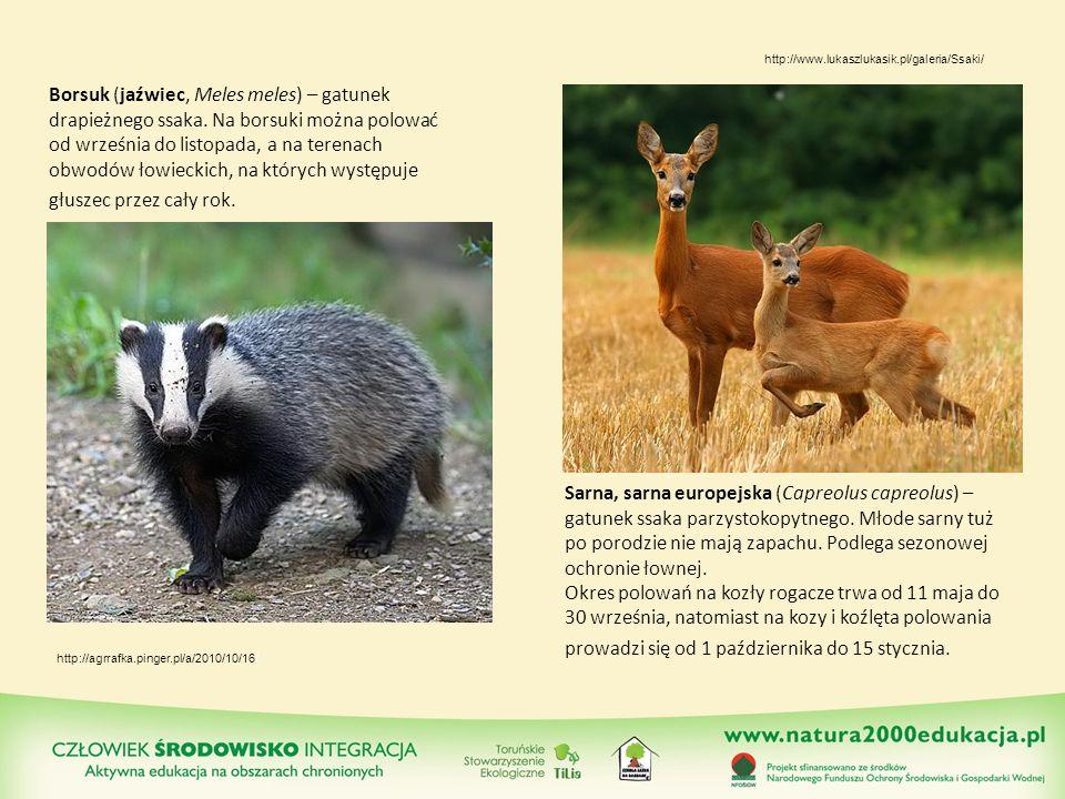 Borsuk (jaźwiec, Meles meles) – gatunek drapieżnego ssaka. Na borsuki można polować od września do listopada, a na terenach obwodów łowieckich, na któ