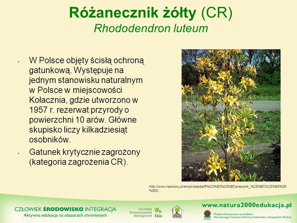 Różanecznik żółty (CR) Rhododendron luteum W Polsce objęty ścisłą ochroną gatunkową. Występuje na jednym stanowisku naturalnym w Polsce w miejscowości