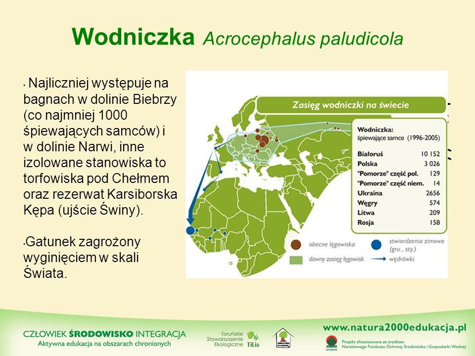 Wodniczka Acrocephalus paludicola http://www.wo dniczka.pl/pl/ Najliczniej występuje na bagnach w dolinie Biebrzy (co najmniej 1000 śpiewających samcó