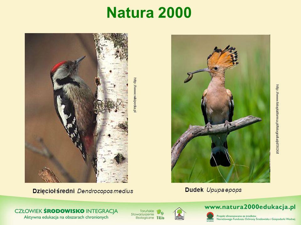 Dzięcioł średni Dendrocopos medius Dudek Upupa epops Natura 2000 http://www.wikipedia.pl http://www.fotoplatforma.pl/fotografia/pl/3926/l