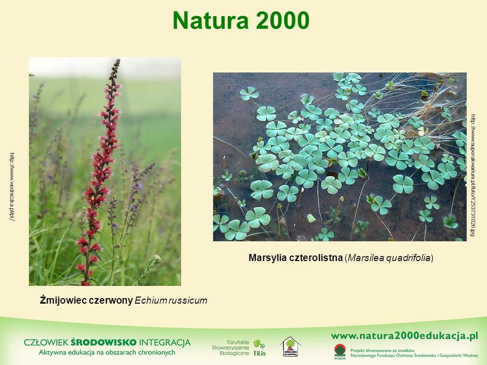 Żmijowiec czerwony Echium russicum Marsylia czterolistna (Marsilea quadrifolia ) Natura 2000 http://www.wodniczka.pl/pl / http://www.superakwarium.pl/
