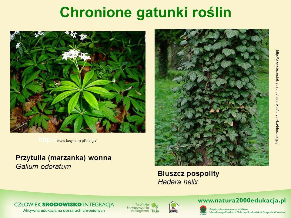 Chronione gatunki roślin Przytulia (marzanka) wonna Galium odoratum Bluszcz pospolity Hedera helix http:// www.lasy.com.pl/image/ http://www.brzostek.