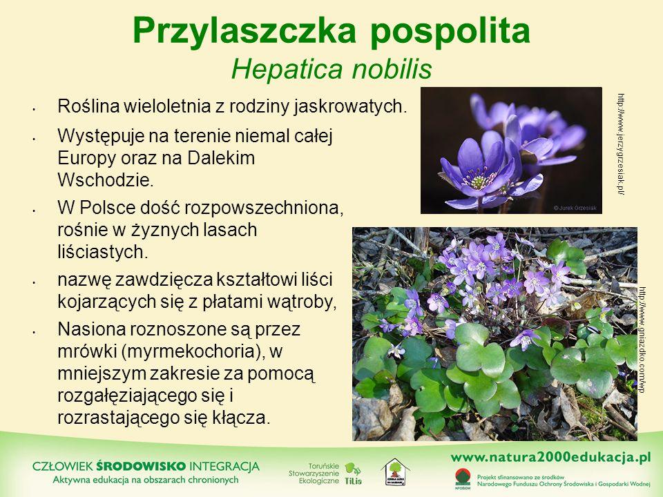 Przylaszczka pospolita Hepatica nobilis Występuje na terenie niemal całej Europy oraz na Dalekim Wschodzie. W Polsce dość rozpowszechniona, rośnie w ż