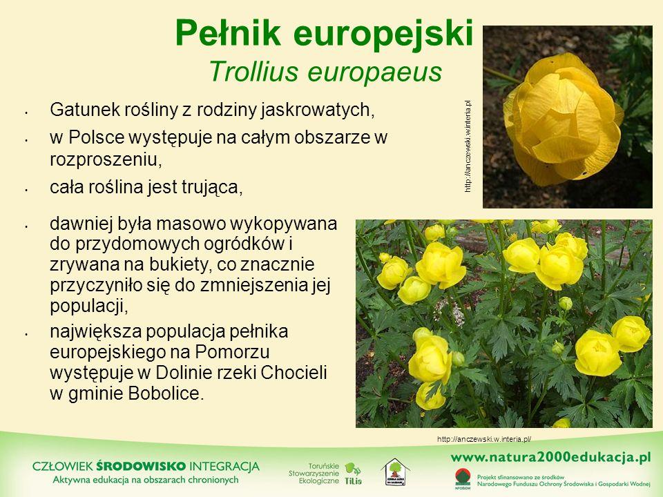Pełnik europejski Trollius europaeus Gatunek rośliny z rodziny jaskrowatych, w Polsce występuje na całym obszarze w rozproszeniu, cała roślina jest tr