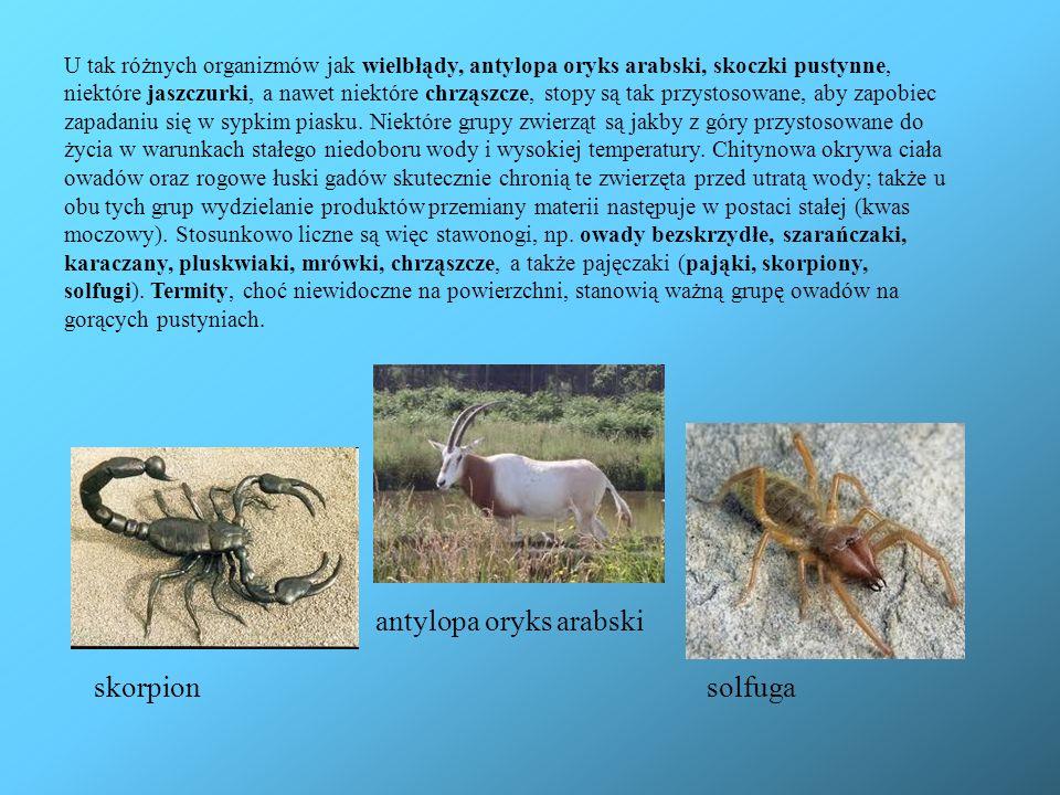 U tak różnych organizmów jak wielbłądy, antylopa oryks arabski, skoczki pustynne, niektóre jaszczurki, a nawet niektóre chrząszcze, stopy są tak przys