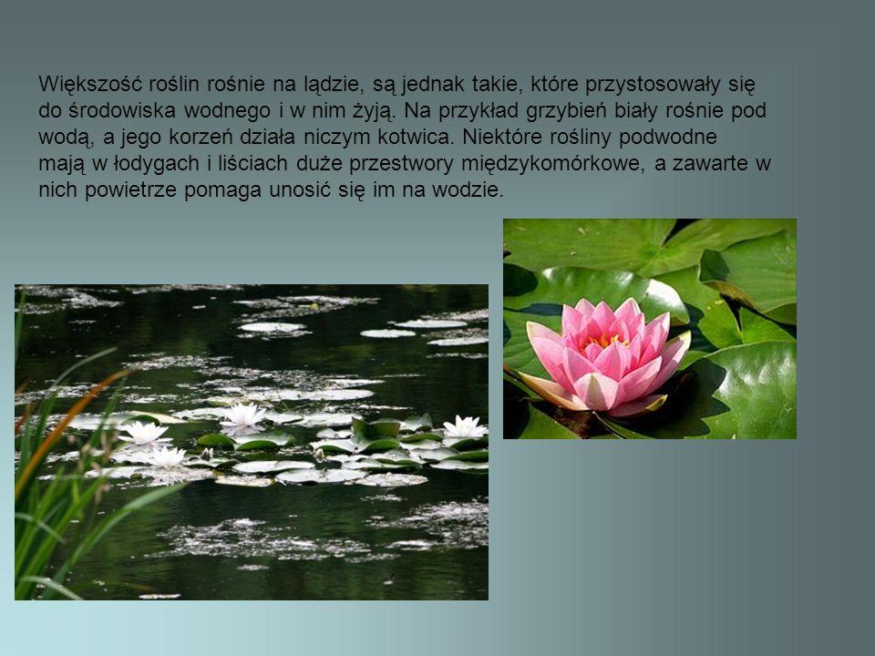 Większość roślin rośnie na lądzie, są jednak takie, które przystosowały się do środowiska wodnego i w nim żyją. Na przykład grzybień biały rośnie pod