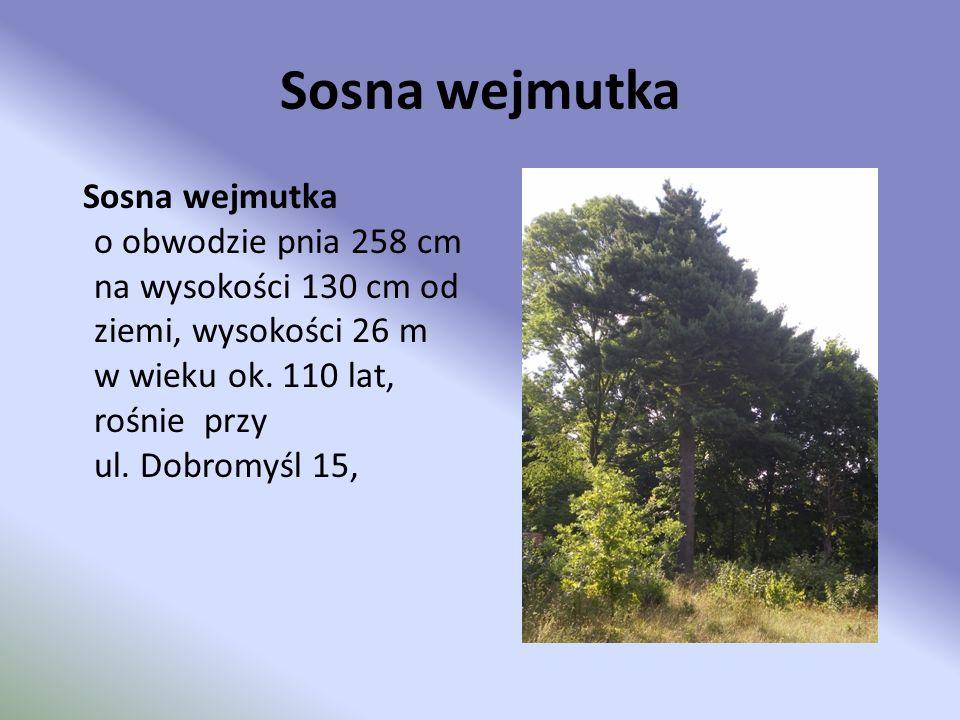 Sosna wejmutka Sosna wejmutka o obwodzie pnia 258 cm na wysokości 130 cm od ziemi, wysokości 26 m w wieku ok. 110 lat, rośnie przy ul. Dobromyśl 15,
