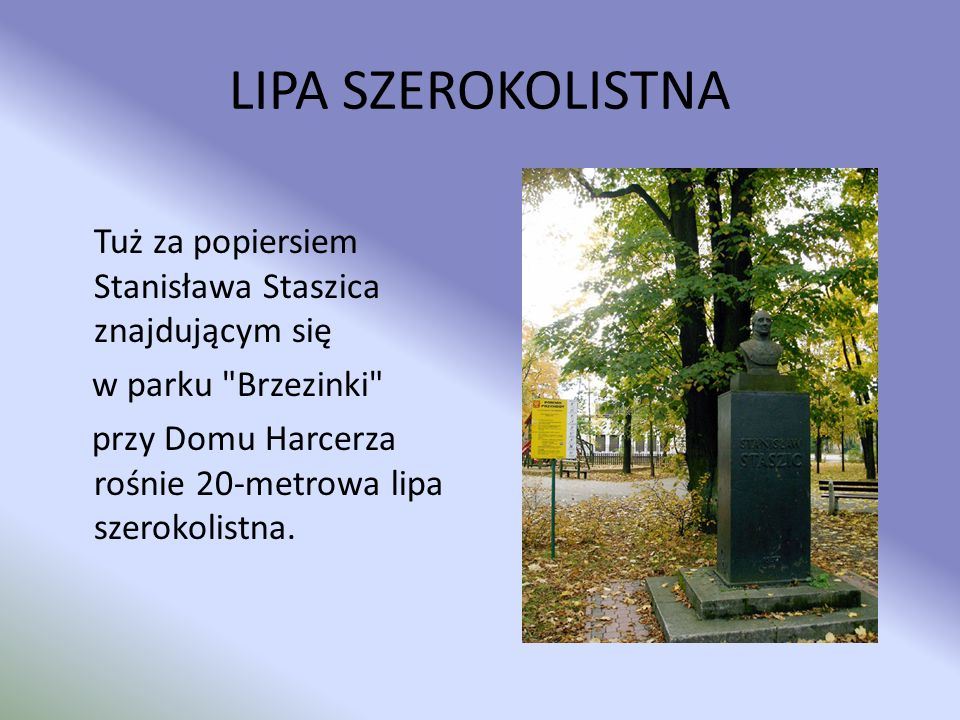 LIPA SZEROKOLISTNA Tuż za popiersiem Stanisława Staszica znajdującym się w parku