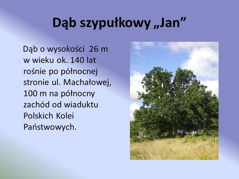 Dąb szypułkowy Jan Dąb o wysokości 26 m w wieku ok. 140 lat rośnie po północnej stronie ul. Machałowej, 100 m na północny zachód od wiaduktu Polskich