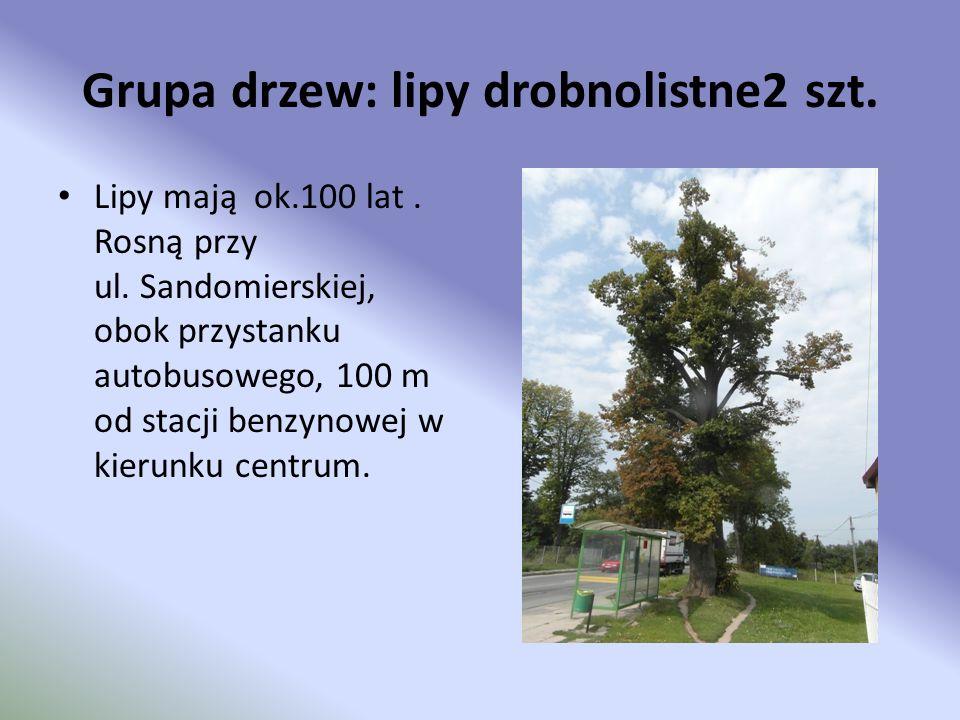 Grupa drzew: lipy drobnolistne2 szt. Lipy mają ok.100 lat. Rosną przy ul. Sandomierskiej, obok przystanku autobusowego, 100 m od stacji benzynowej w k