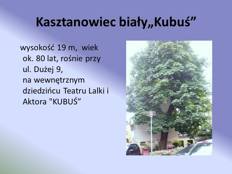 Kasztanowiec białyKubuś wysokość 19 m, wiek ok. 80 lat, rośnie przy ul. Dużej 9, na wewnętrznym dziedzińcu Teatru Lalki i Aktora