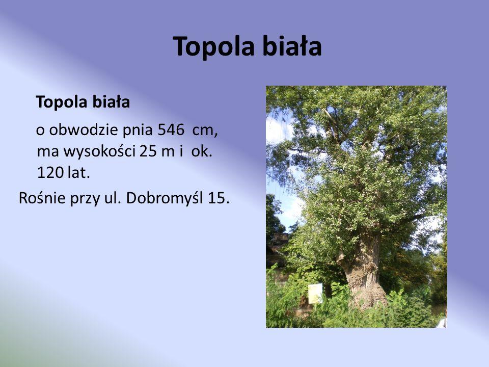 Sosna wejmutka Sosna wejmutka o obwodzie pnia 258 cm na wysokości 130 cm od ziemi, wysokości 26 m w wieku ok.