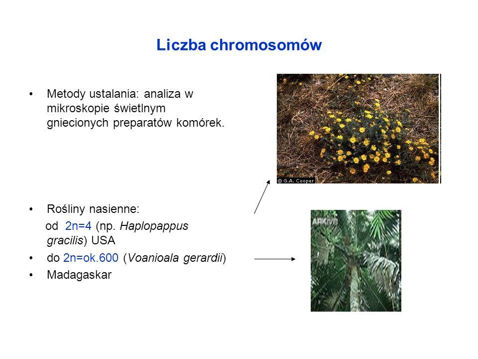 Liczba chromosomów Metody ustalania: analiza w mikroskopie świetlnym gniecionych preparatów komórek. Rośliny nasienne: od 2n=4 (np. Haplopappus gracil